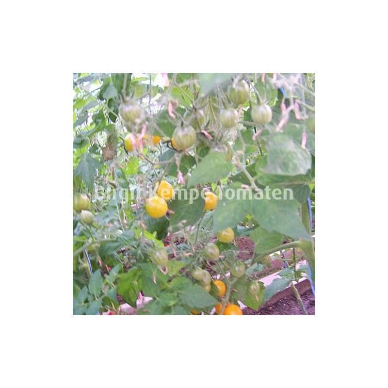 Aurantiacum Wildtomate