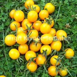 Orange Wildtomate