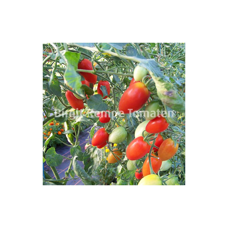 China Tomate