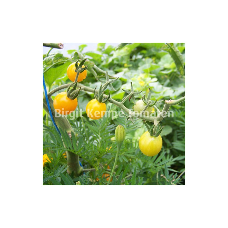 Gelbe Traubentomate