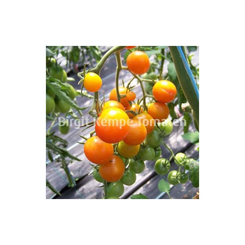 Big Sungold Orange